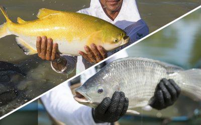 Peixe BR cria comitês de Tilápia e Peixes Nativos para fortalecer desenvolvimento da piscicultura brasileira