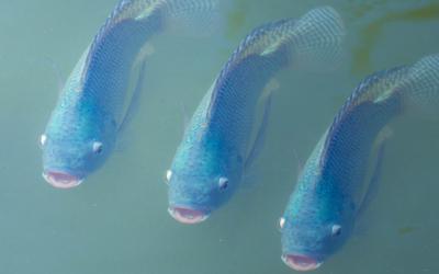 Como melhorar a produtividade e os parâmetros de saúde dos peixes no inverno