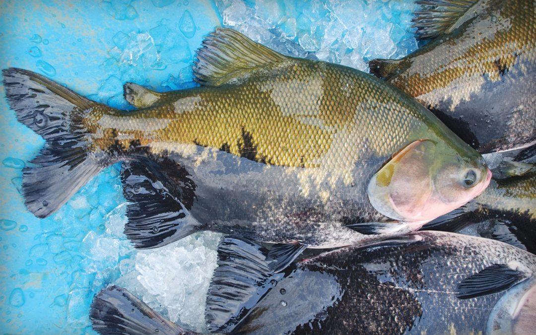 Peixe BR e Esalq USP realizam estudo sobre Salmonella na cadeia da produção de Tambaqui